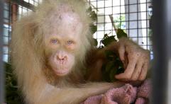 BOSF Sita Orangutan Albino Kalimantan dari Warga