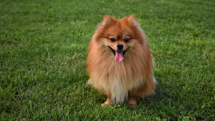 Gemasnya, Anjing Pomeranian Bisa Jadi Teman #DiRumahAja