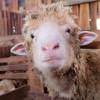 Domba Padjadjaran Ikon Baru Sumedang