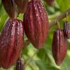 Flavanol, Kandungan dalam Kakao yang Kabarnya Meningkatkan Daya Ingat