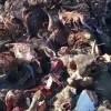 Misteri Ratusan Kepala Sapi Terpenggal di Jalur 40 Kupang Terjawab