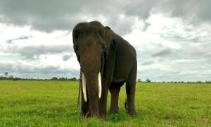 Fakta-Fakta Unik Hubungan Warga Lampung dengan Gajah Sumatera