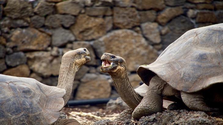 Kura-kura Berumur 100 Tahun Ini Pulang ke Habitat Aslinya Setelah Menjadi Ayah Bagi 2.000 Spesies Galapagos
