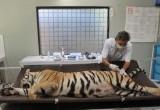 Antisipasi Penularan Penyakit Hewan, Harimau Benggala Diperiksa