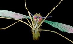 Nyamuk Mutan Mampu Lawan Malaria