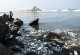 Jutaan Ikan Mati Mendadak di Ancol