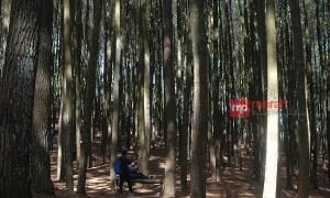 Hutan Pinus Dlingo Wisata Hits di Yogyakarta