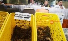 Menteri Susi Minta Vietnam Setop Beli Bibit Lobster dari Indonesia