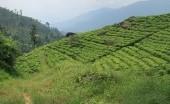 Seperti di Puncak Bogor, ini 5 Destinasi Terbaik Perkebunan Teh Sri Lanka