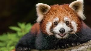 Kabar Gembira, Panda Merah Pertama Kali Lahir di Indonesia