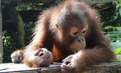 Polisi Amankan Satu Keluarga Pemburu Orangutan