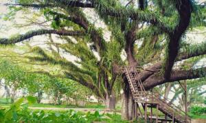 Jawatan Benculuk, Wisata Instagramable ala Hutan 'Alice in Wonderland' di Banyuwangi