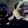 4 Ras Anjing Paling Malas yang Cocok TInggal di Apartemen