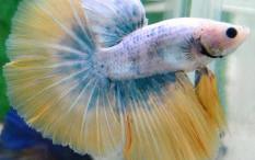 Ikan Cupang Indonesia Diminati Kolektor Luar Negeri