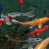Rahasia Memperpanjang Umur Ikan Koi