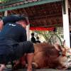 Butuh Belasan Orang untuk Robohkan Sapi Kurban Milik Jokowi di Masjid Al-Wusto