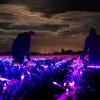 Lahan Pertanian di Belanda Penuh dengan Ribuan LED, Ada Apa?