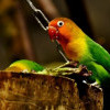 Edan! Kicau Mania Asal Lamongan Rela Tukar Mobil CR-V dengan Burung Love Bird