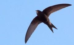 Burung Kecil Ini Bisa Terbang Selama 10 Bulan Tanpa Mendarat