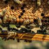 Racun Sengatan Lebah Madu Dapat Membunuh Sel Kanker Payudara