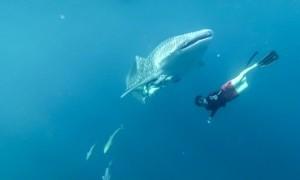 Asiknya Berenang dengan Hiu Raksasa di Perairan Talisayan