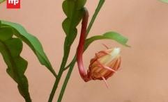 Mitos Bunga Wijaya Kusuma Bisa Membawa Keberuntungan dan Rezeki yang Tak Terduga