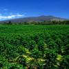 Mengenal Kopi Kona dari Big Island Hawaii