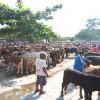 Pengungsi Lereng Merapi Banyak Jual Hewan Ternak, Harga Sapi di Pasar Bekonang Anjlok