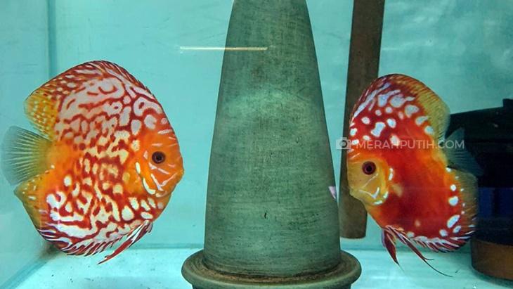 Mengenal Cara Breeding Ikan Discus, Si Cantik Asal Sungai Amazon
