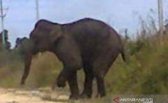Habitat Menyusut Parah, Populasi Gajah di Balai Raja Tinggal Tujuh Ekor
