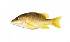 Rutin Mengonsumsi Ikan Kakap Bisa Mencerdaskan Otak