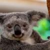 Koala Australia Terancam Punah pada 2050
