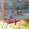 Pemkot Solo Bikin Event Nasional Kontes Ikan Cupang Piala Wali Kota