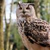 Unik, Petani Jepang Gunakan Burung Hantu Untuk Pengendali Hama