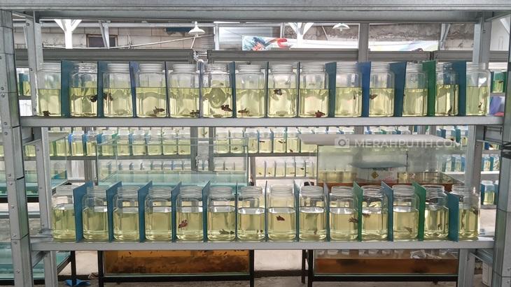 Berawal dari Iseng, Bisnis Ikan Cupang Raup Omzet Rp500 juta
