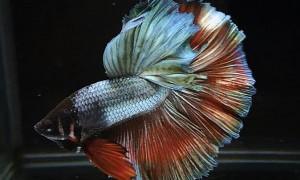 Ada Triknya, ini Tips Pelihara Ikan Cupang bagi Pemula
