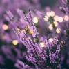 Bunga Lavender yang Bagus Untuk Kulit