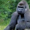 Gorila di Zoo Atlanta, Positif Terkena COVID-19