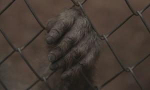Simpanse di Taman Margasatwa Rusia Diberikan Tontonan Kartun untuk Cegah Depresi