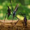 Sabethes, Nyamuk 'Terindah' di Dunia