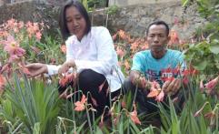 Bunga Amarilis Kembali Mekar, Bupati Gunungkidul Bersiasat