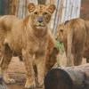 4 Singa di Kebun Binatang Barcelona Positif COVID-19