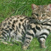 Felis Nigripes, Kucing Lucu Paling Mematikan di Dunia