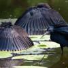 Burung Pintar Ini Berburu Ikan dengan Berkamuflase Menjadi Payung