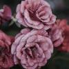 Kulit Cantik dengan Air Mawar
