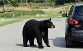 Viral! Puluhan Beruang Serbu Kota dan Mengejar Warga, Pertanda Apakah?