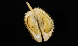 Penyuka Durian Sangat Beruntung, ini Manfaat Si Raja Buah untuk Tubuh