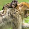 Reaksi Primata Ketika Melihat Mayat Anaknya