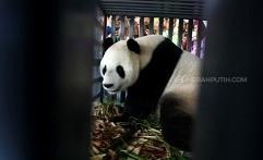 Pasangan Panda Raksasa Tiba di Indonesia