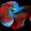 5 Istilah yang Harus Dipahami pada Lelang Ikan Cupang